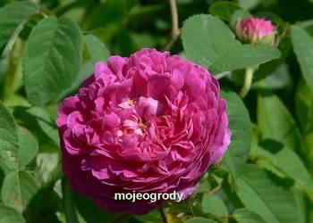 Róża historyczna kwiaty 7-8cm sadzonka