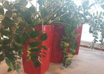 Donica LECHUZA CUBICO z dużą rośliną zamioculcas