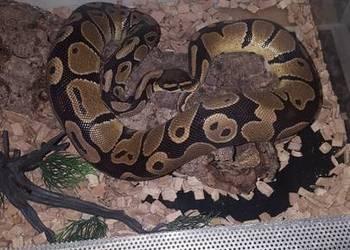 Python Regius-Pyton Królewski+opcja zakupu razem z terrarium