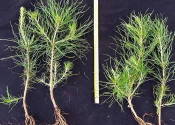 Sosna smołowa 2 letnia ok. 30cm w cenie 1zł/szt, 1roczna