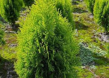 Thuja Aurea Nana 60-70 cm jasnozielona PRODUCENT