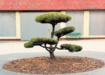Krzewy formowane, spirale, bonsai, kule, rzeźby ogrodowe