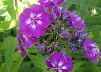 Floks w kolorze fioletow- wiśniowym, roślina bardzo wonna