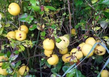 Owoce pigwowca japońskiego