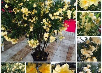 Sadzonki żółty pachnący oleander
