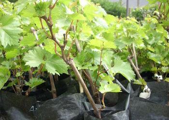 Sadzonki winorośli, winogron
