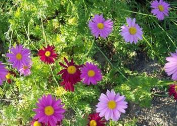 Margerytka kolorowa (zlocien) - bylina