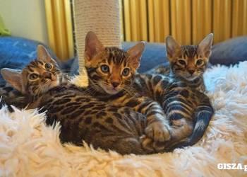 Rodowodowe koty rasy bengalskiej