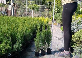 Thuja Smaragd tuja szmaragd 50-60 cm żywopłot
