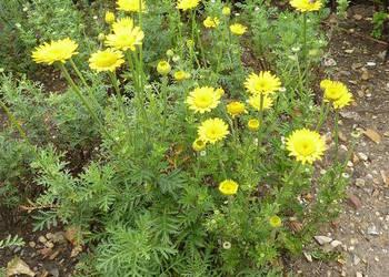 rumian żółty, barwierski,Cota tinctoria, naturalistyczny XXL