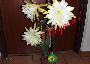 EPIPHYLLUM--  Pastelowe --RARYTAS w Polsce--- KAKTUS