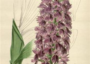ORCHIDEE - STORCZYKI reprodukcje XIX w.  grafik 40x30 cm