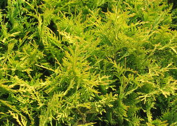Thuja Golden Globe, tuja Golden Globe