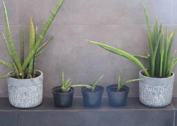 Sansevieria cylindrica - wężownica kwiat doniczkowy