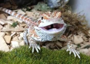 Agama Brodata - młode duży wybór !! Wejherowo