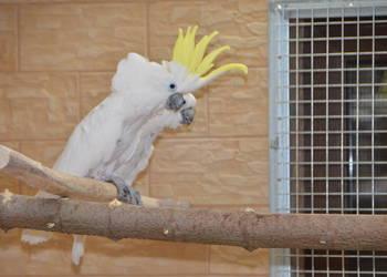 Kakadu żółtoczuba (1,1) dorosła para lęgowa